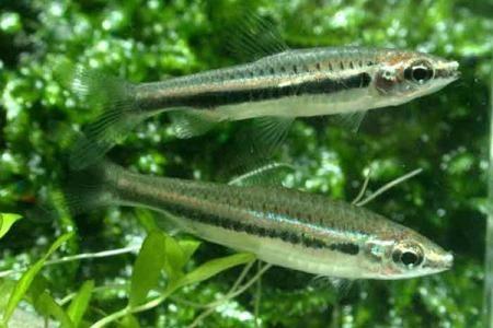 нанностомусы нитидус в аквариуме