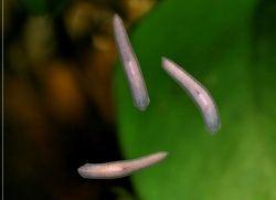 Белые червячки в аквариуме