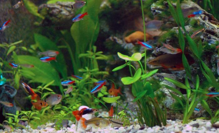 неоны рыбки размножение