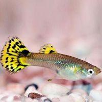 неприхотливые аквариумные рыбки1