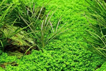 Неприхотливые аквариумные растения5