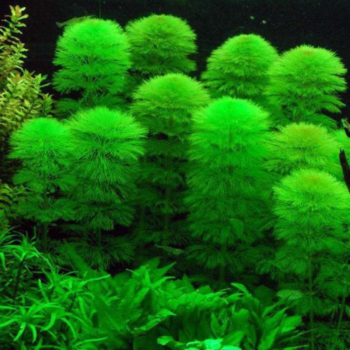 Кабомба аквариумное растение