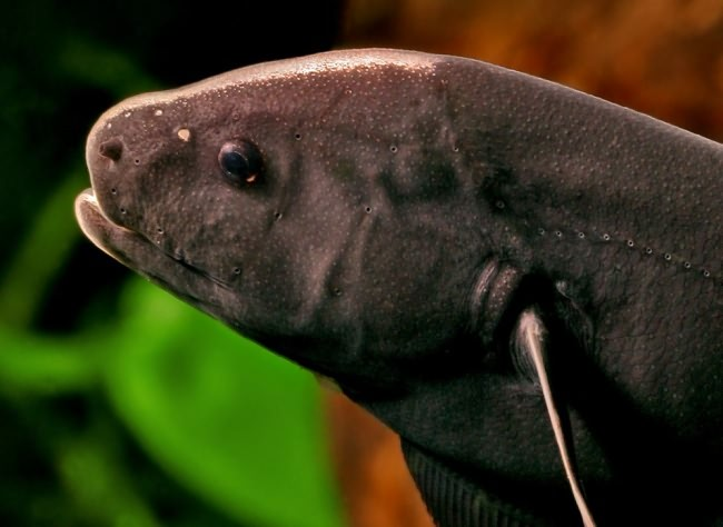 Голова рыбы нож.