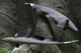 рыбка аптеронотус пара