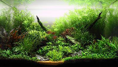 живые растения в аквариуме
