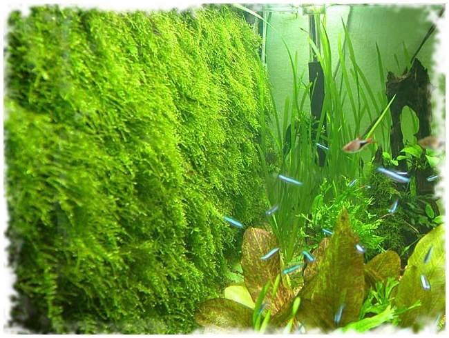 стена из яванского мха в аквариуме