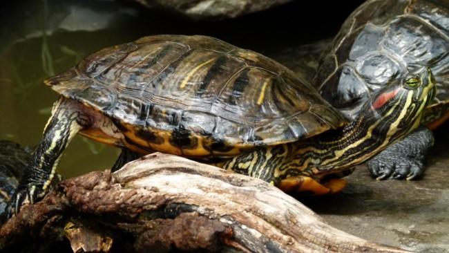 Красноухая черепаха ярко окрашена.