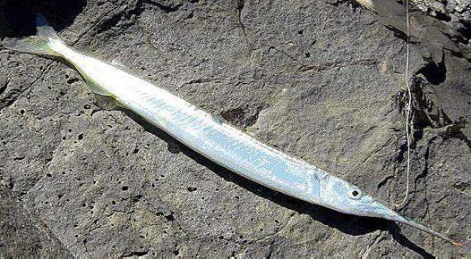 панцирная рыба дунклеостей