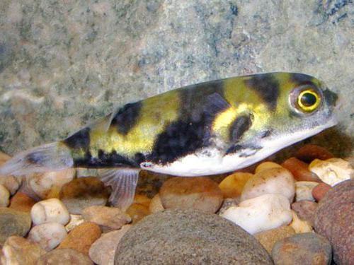 плавниковая гниль лечение в общем аквариуме перекисью