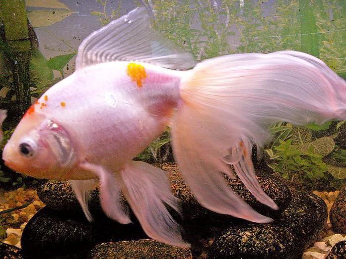 плавниковая гниль у золотых рыбок лечение метиленовым синим