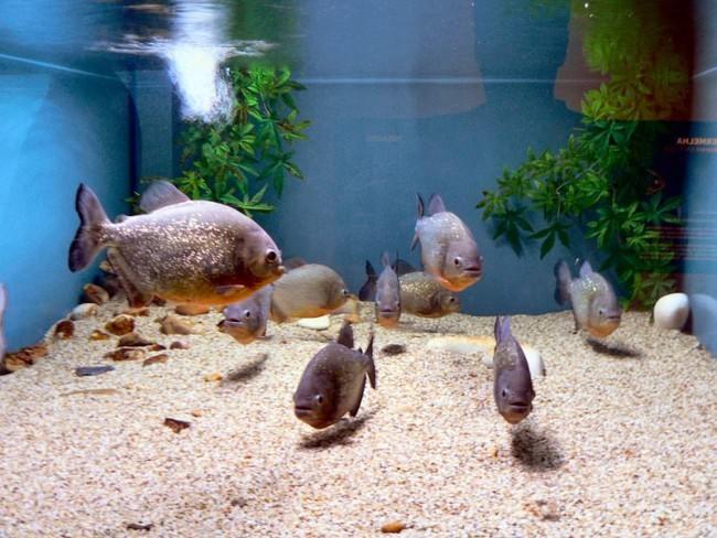 Стайка пираний в большом аквариуме.