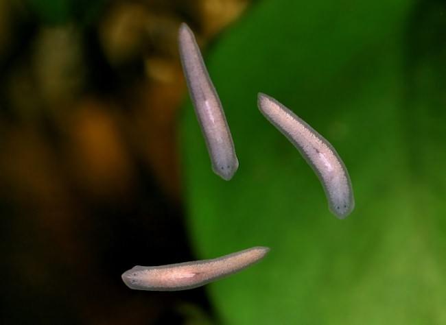 Ресничные черви.