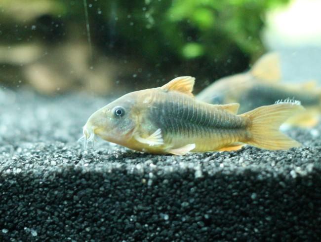 Рыба, зараженная планариями.