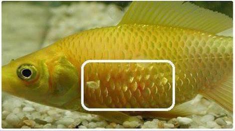 плавниковая гниль лечение в общем аквариуме