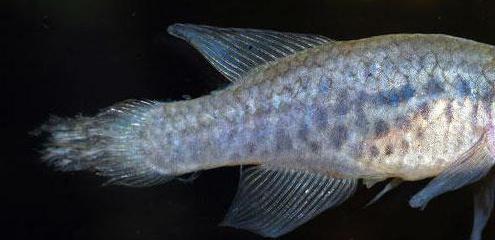 плавниковая гниль лечение в общем аквариуме солью