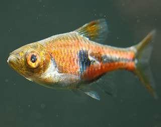 плавниковая гниль лечение в общем аквариуме малахитовым зеленым