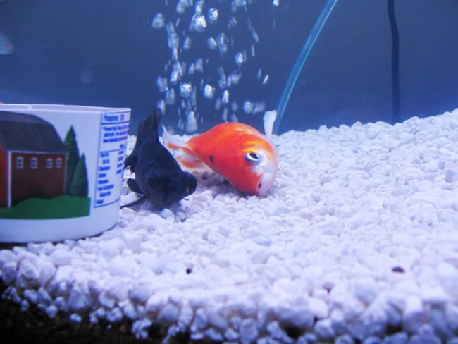 Рыбка лежит на боку.
