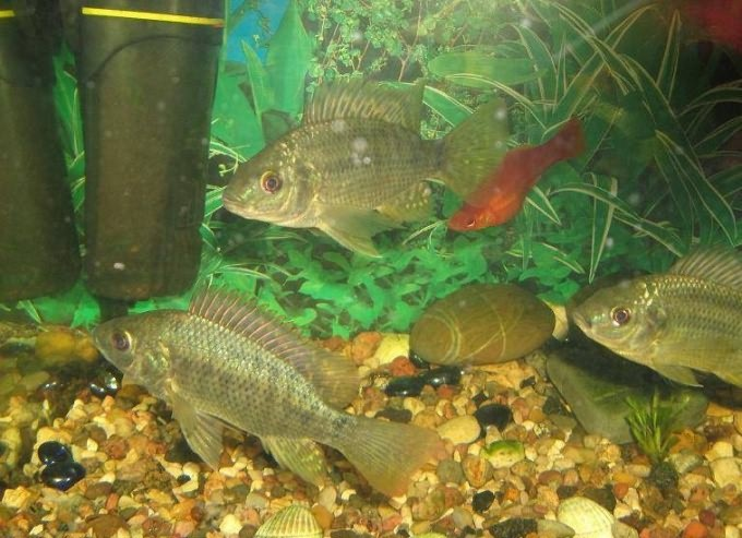 Что делать, если помутнела вода в аквариуме
