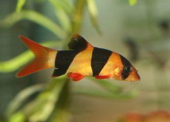 пресноводные аквариумные рыбки2