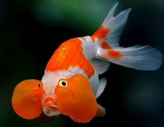 пресноводные аквариумные рыбки5