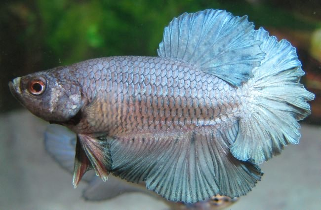 Steel Blue OHM Rosetail Betta.