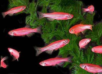 Сколько живут рыбки данио