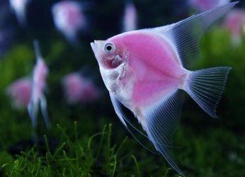 Сколько живут рыбки скалярии
