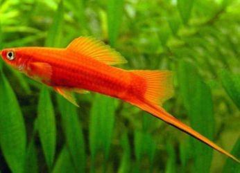 Сколько живут рыбки меченосцы