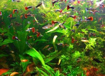 Сколько живут рыбки гуппи