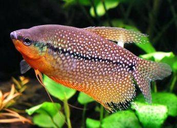 Сколько живут рыбки гурами