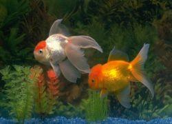 Сколько живут аквариумные золотые рыбки