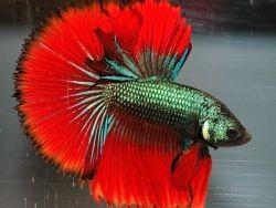Сколько живет рыбка петушок1