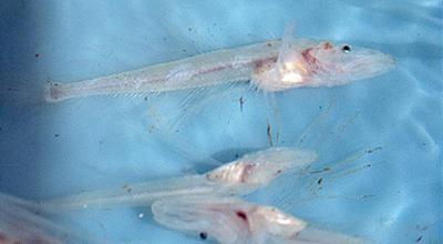 прозрачная рыба название