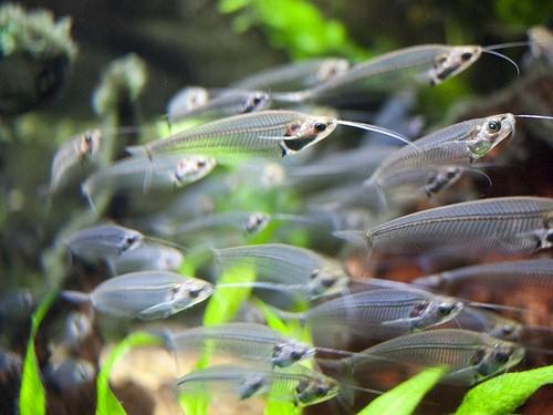 стеклянные рыбки