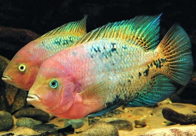 С интересным характером рыбки.