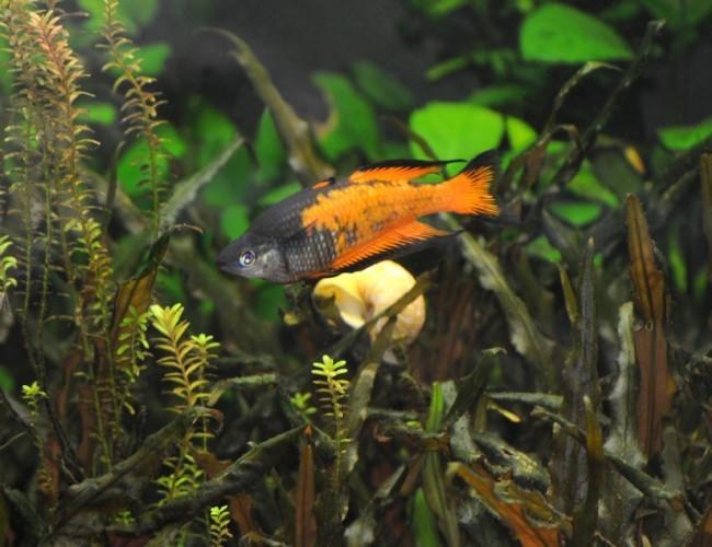 Радужница паркинсона оранжевая.