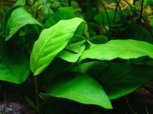 Аквариумные растения для начинающих1
