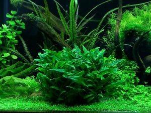 Аквариумные растения для начинающих3