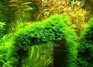 Растения в аквариуме7