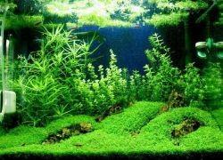 Почвопокровные растения для аквариума
