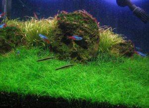 Почвопокровные растения для аквариума1