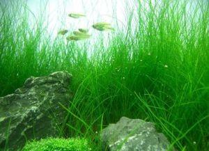 Почвопокровные растения для аквариума2