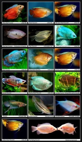 самые красивые лабиринтовые рыбки