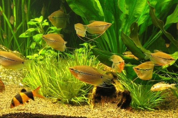 оформление аквариума для гурами