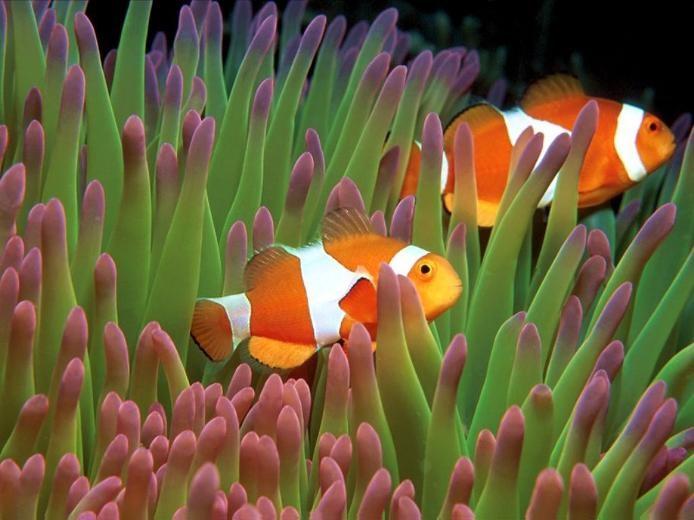 рыба клоун в водорослях