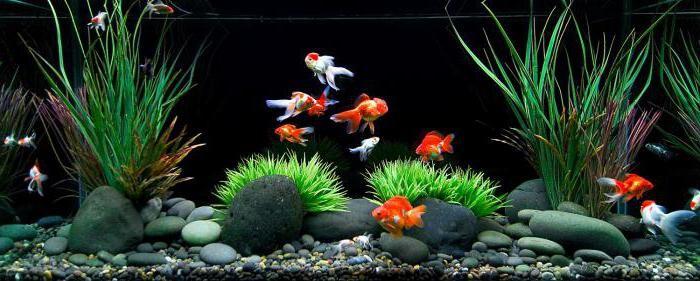 рыба комета аквариумная