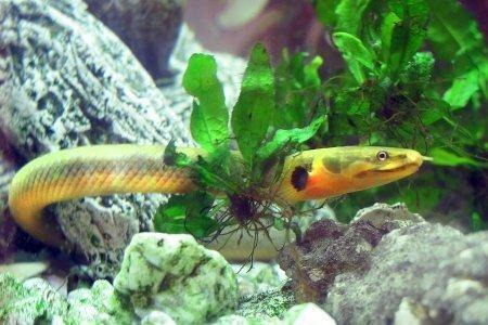 удивительная рыбка-змея