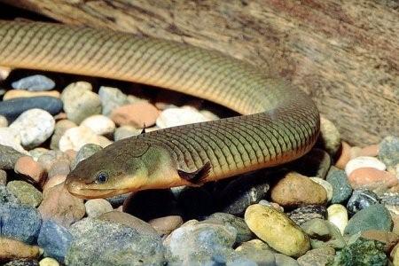змеевидная рыбка каламоихт