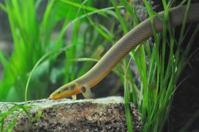 Название рыбы которая похожа на змею