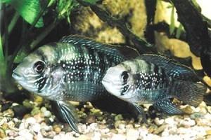 голубовато пятнистые акары в аквариуме